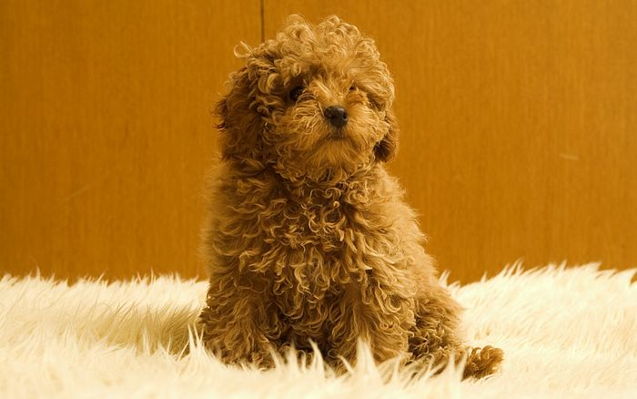 Toy Poodle Dog Puppy