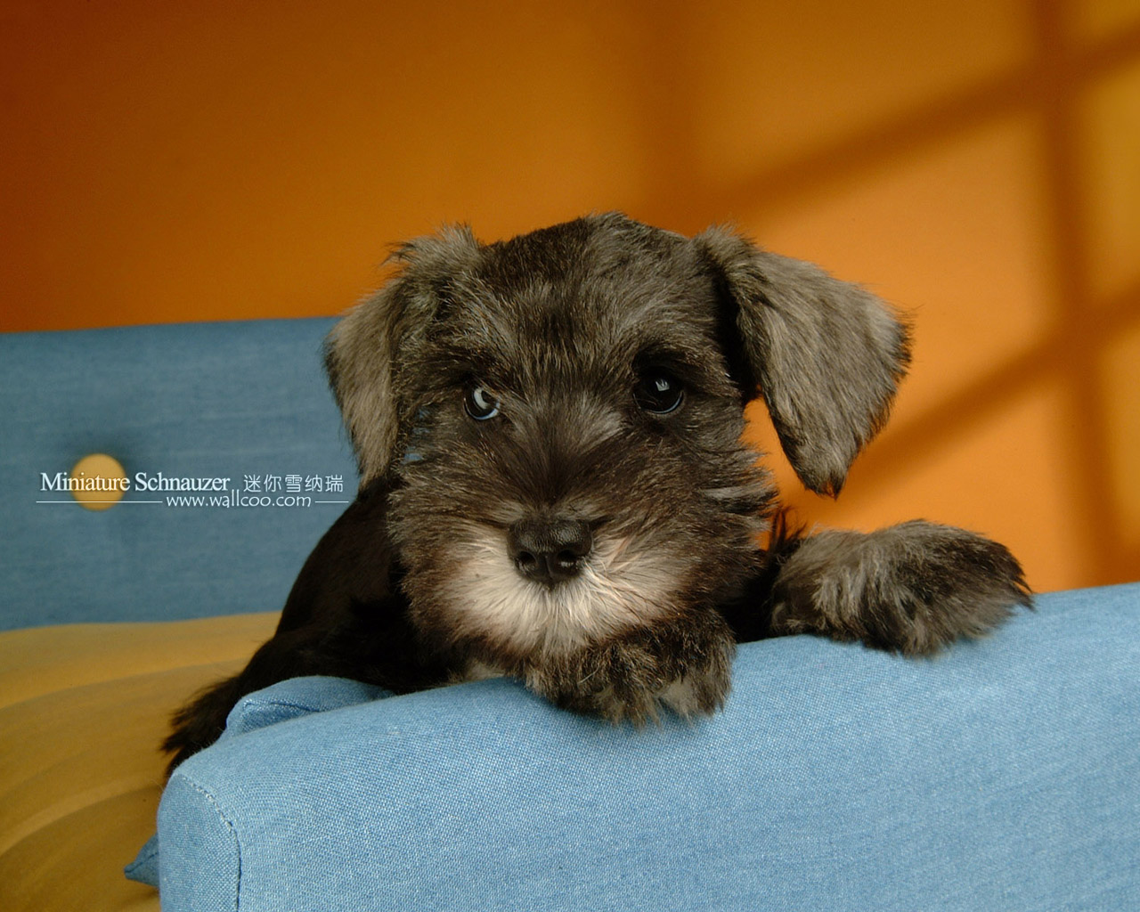 宠物狗狗迷你雪纳瑞 - pet dogs - miniature schnauzer puppy photo