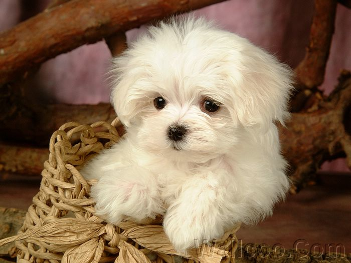 毛茸茸小狗狗写真壁纸 - Lovely Little White Fluffy Puppy 1920*120015