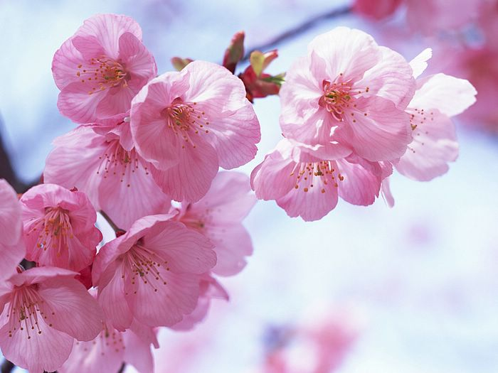 cherry blossom wallpaper. sakura wallpapers. sakura